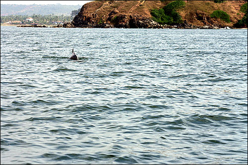 Dolphins can be located at around 1-2 km from the Baga beach.
