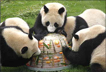 Giant pandas enjoy a cake made from ice and fruits at Shanghai.