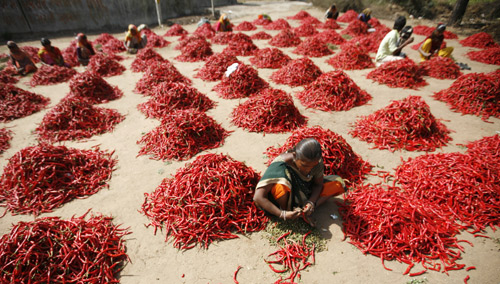 Workers remove stalks from red chilli at a farm in Shertha village on the outskirts of the western Indian city of Ahmedabad.