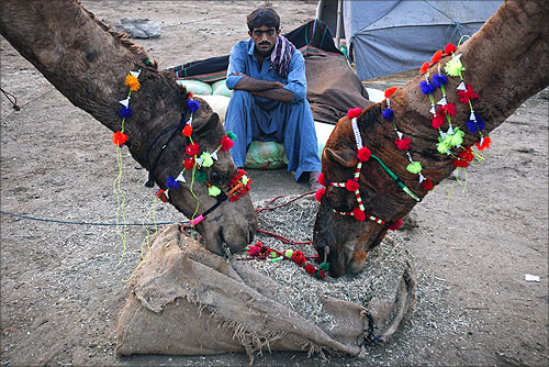 A man feeds his camels while waiting for customers in a cattle market in the outskirts of Karachi.