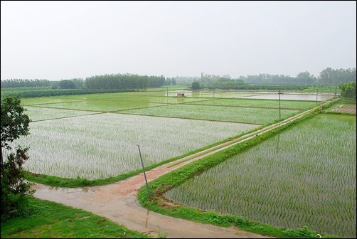A paddy field in Punjab.