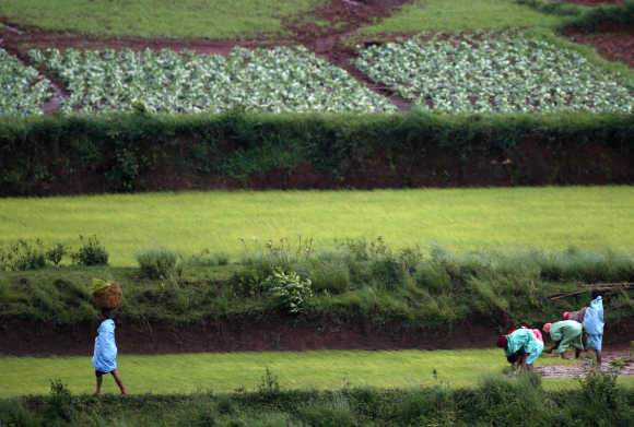 Tribal farmers work in a field in the Koraput district, Orissa.