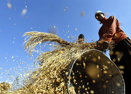 Kashmiri farmers thresh paddy on a drum during the harvest in Shariefabad on the outskirts of Srinagar.