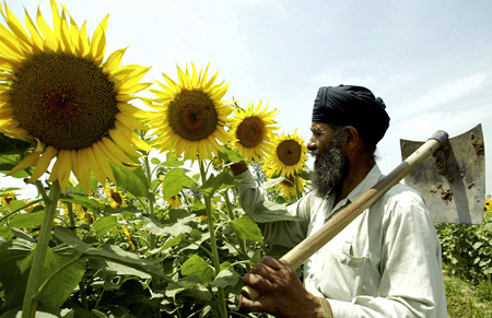 Kashmir Singh, 56, a farmer, inspects his sunflower crop in a field at Dharar village on the outskirts of the northern Indian city of Amritsar.