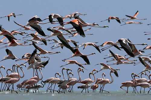 Flamingos fly over a reserve near the town of Manaure, Guajira province, Colombia