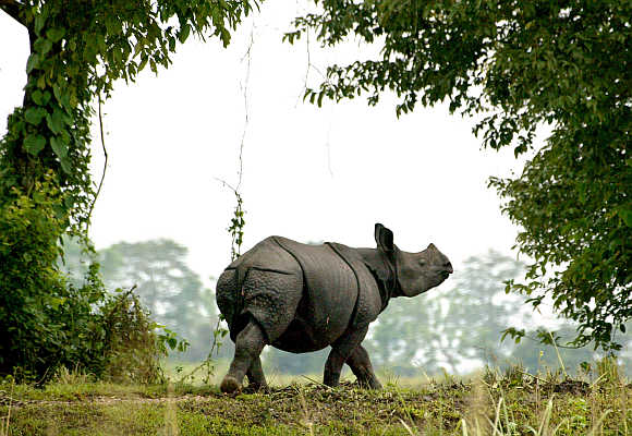 A one-horned rhinoceros walks in Kaziranga National Park in Assam.