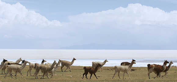 Llamas walk on the grass near the edge of the world's largest salt flats, the Salar de Uyuni, at the village of Coquenza in Bolivia.