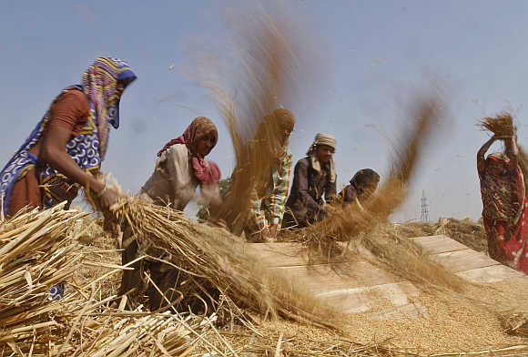 Labourers thresh paddy crop in a farm at Sanand in Gujarat.