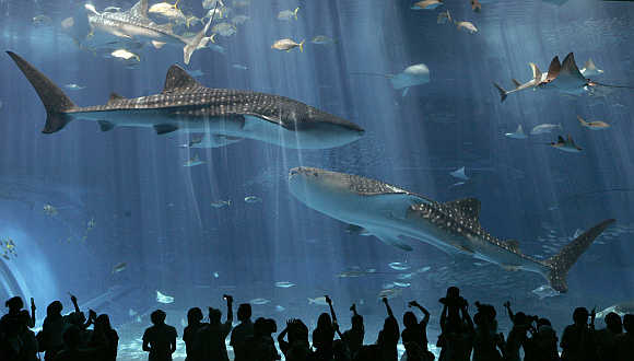 Whale sharks swim with other fish inside a tank at Okinawa Churaumi Aquarium in Motobu town on Japan's southern island of Okinawa.