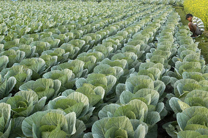 A cabbage field at Chandapur village, northeast of Agartala.