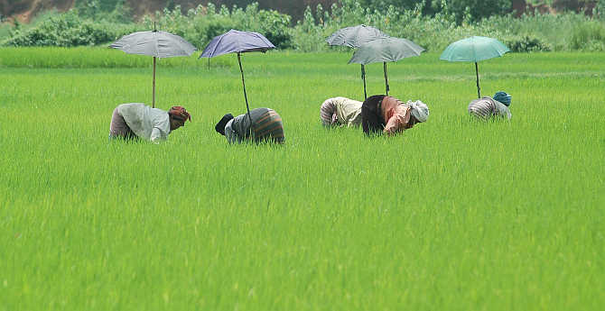 Women farmers sow paddy saplings at a field in Teliyamura village, about 45km from Agartala.