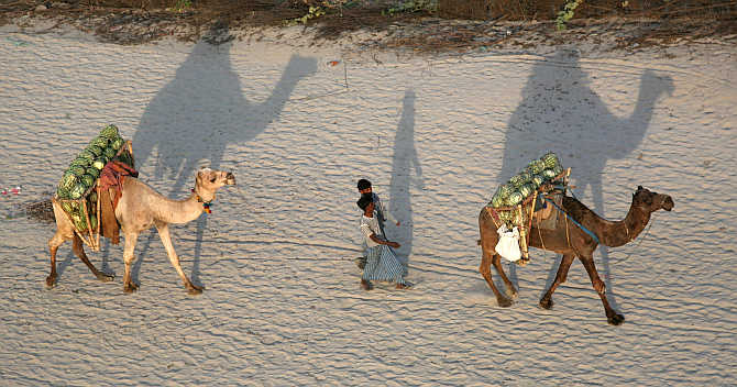 Farmers walk with their camels carrying watermelons towards a market on the banks of Ganges in Allahabad.