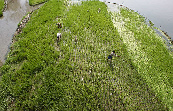Farmers work in a paddy field on the outskirts of Siliguri.