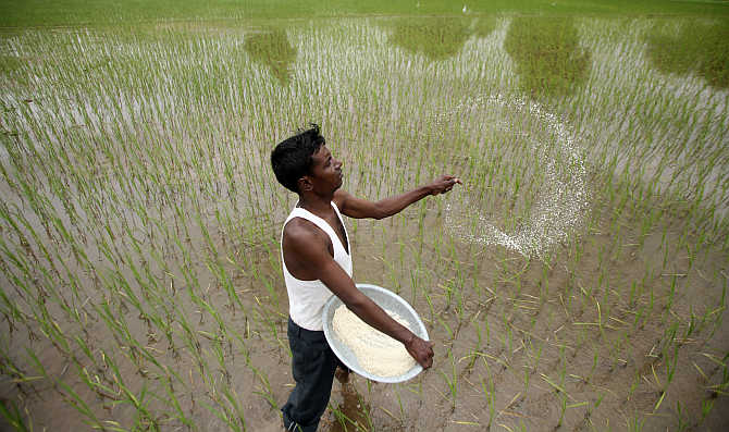 A farmer casts pesticides on his rice paddy field on the outskirts of Ahmedabad.