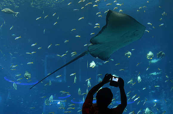 A man takes pictures of a stingray in the Resorts World Sentosa's Aquarium in Singapore.
