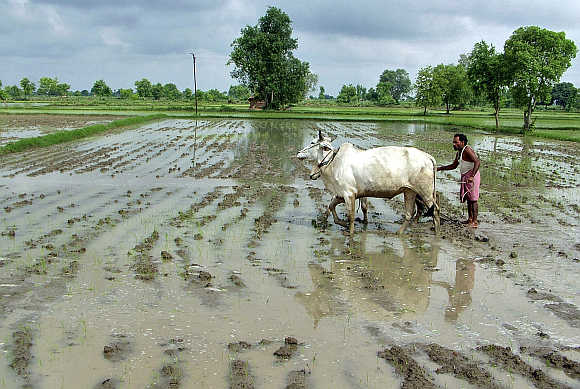 A farmer ploughs his rice field after heavy rainfall in Mathura.
