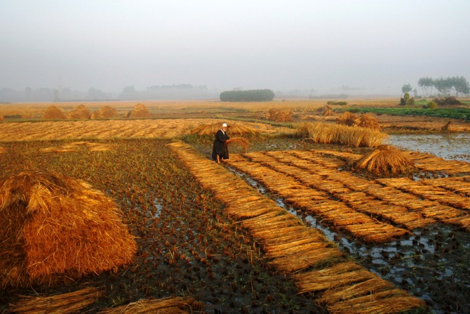 A Kashmiri man works in his paddy field in Srinagar.