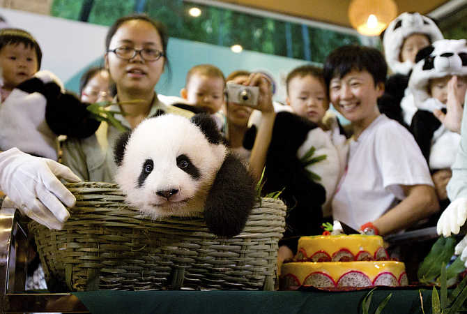 A newly-born giant panda cub sits inside a basket at a zoo in Guangzhou, Guangdong province, China.