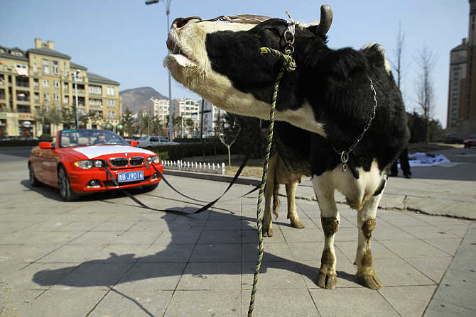 A cow is attached to a BMW car in Qingdao, Shandong province, China. The driver of the damaged BMW had tethered the animal to his vehicle to express his anger towards a garage which he believed not only aggravated the damages to his car, but had also refused to compensate him for it.