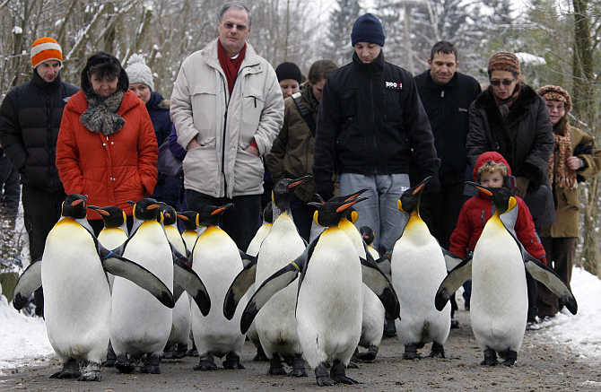 People follow king penguins exploring their outdoor pen at Zurich's Zoo in Switzerland.