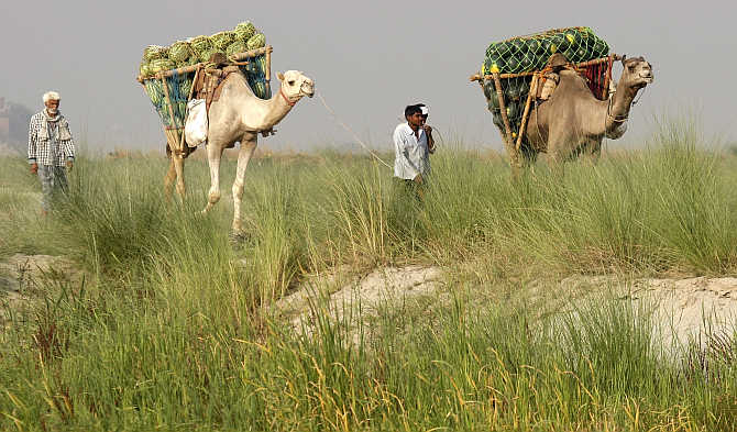 Farmers transport watermelons on their camels on the banks of the river Ganges to sell at a market in Allahabad.