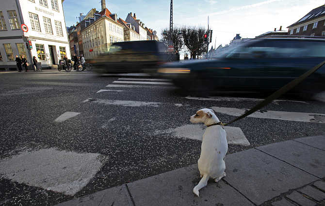 A dog sits as he waits next to his owner to cross a street in Copenhagen, Denmark.