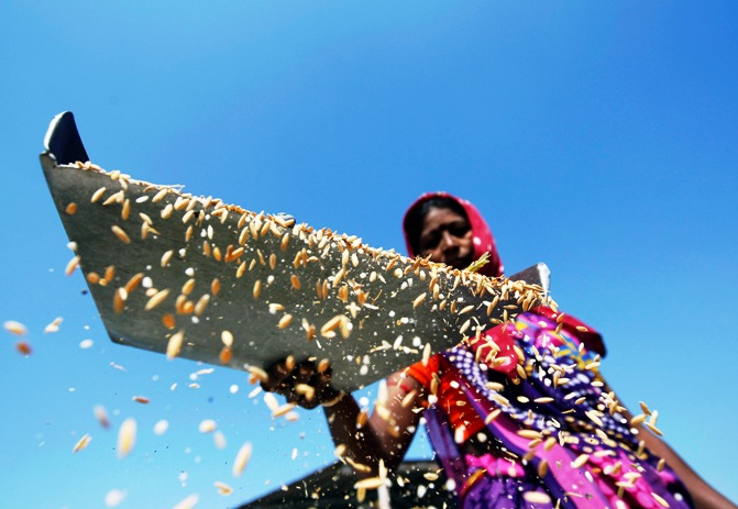 A worker throws rice through the air to remove dust at an agriculture product marketing committee yard at Sanand in Gujarat.