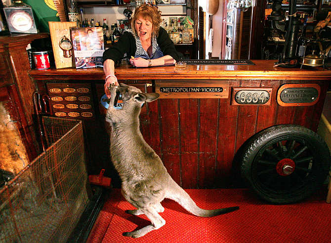A kangaroo grabs can of beer held by Kathy Noble as she stands behind bar at the 127-year-old Comet Inn in township of Hartley Vale, Australia.