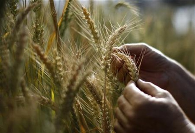 A stalk of wheat is seen at the greenhouse of the wheat breeding program at the Nebraska university in Lincoln, Nebraska.