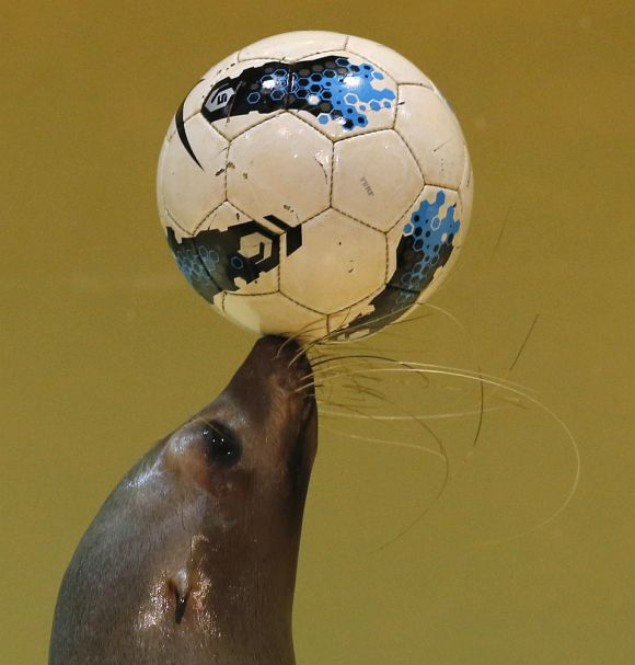 Twenty-one-year-old female seal Sarasa controls a soccer ball during a new show at the Shinagawa Aqua Stadium aquarium in Tokyo.