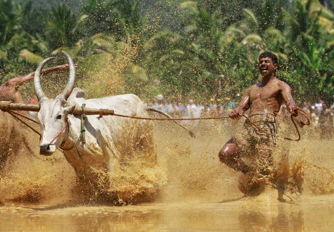 A farmer with his oxen on a paddy field at Kakkoor village in Kerala.
