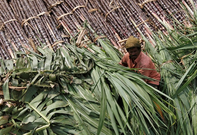 A trader sits on a pile of sugarcane as he waits for customers at a wholesale market in Chennai.