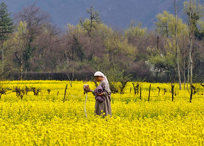 A Kashmiri woman working in her mustard fields in Harwan on the outskirts of Srinagar. Photograph: Fayaz Kabli /Reuters.