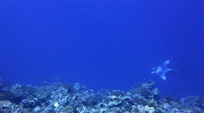 A manta ray caught on camera in the Lakshadweep islands. Photograph: Courtesy PoojaRathod/Wikimedia Commons.