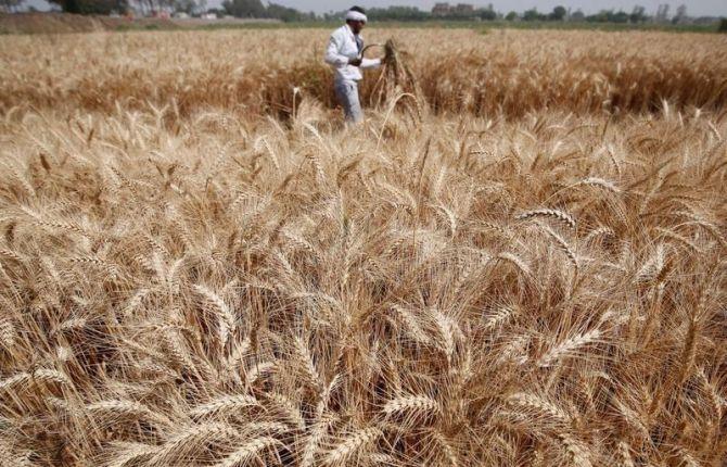India facing a bumper wheat crop, shows data