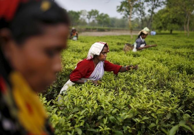 Tea planters' cup of woes is spilling over