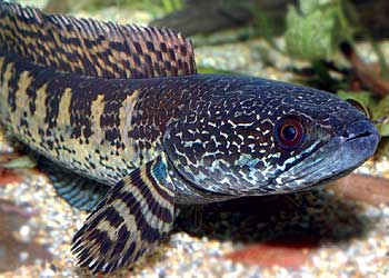 The orange-spotted snakehead fish