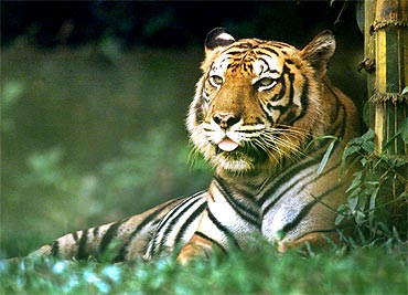 Madhya Pradesh debates over tiger conservation
