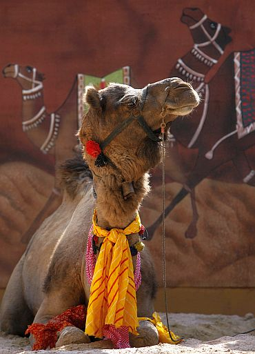 A camel rests during the media preview