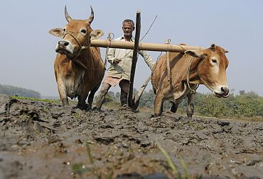 A farmer ploughs his paddy field in Kamalghat village