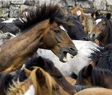 Wild horses are seen gathered