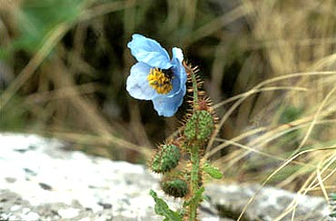 A blue poppy flower at Garhwal in Uttaranchal