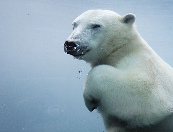 Amazing PHOTOS: Polar bears chilling out