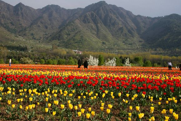 Kashmir's tulip garden has already attracted over a lakh visitors ever since it was thrown open to public on March 29