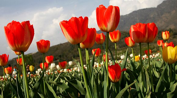 Authorities are likely to increase the import of the number of Tulips to three lakhs from Holland