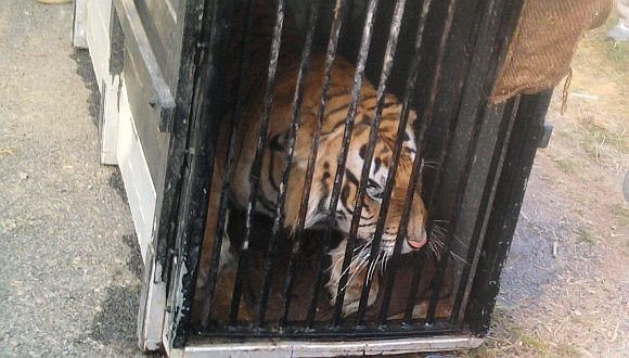 This was the third time since December 2008 that a tiger had strayed out of the wild to enter urban pockets including the neighbourhood of Lucknow