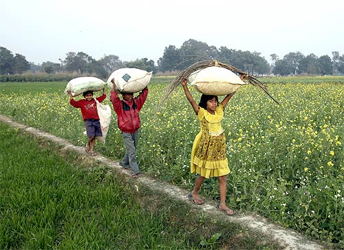Children walk through a mustard field carrying dried leaves in Gauriganj, UP