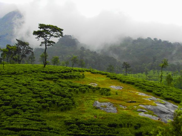 File picture of tea plantations along the Western Ghats