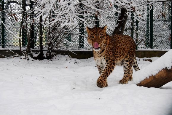 A leopard is seen at a snow-clad Dachigam national reserve near Srinagar