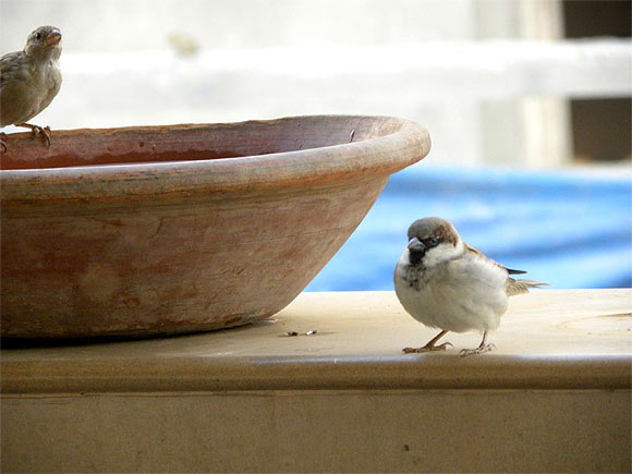 Top: At a bird adopter's Gurgaon home sparrows luxuriate in a bird bath. Right: Waiting for a morning feed